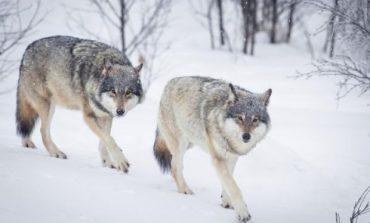 VIDEO: Lupi filmați în Parcul Naţional Semenic - Cheile Caraşului.