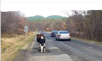 Principalul dusman al soselelor, este vaca..