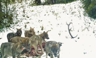 Imagini incredibile,haită de lupi devorând un cerb!